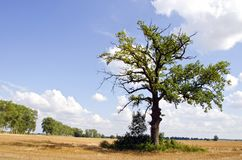 Background of oak tree in riped agricultural field Royalty Free Stock Photo