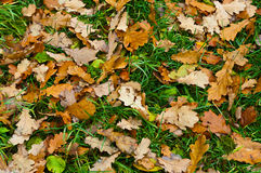 Background from oaken leaf. Background from yellow oaken leaf on green grass. Autumn Stock Image