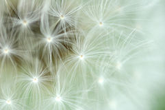 Free Background Of Dandelion Royalty Free Stock Photography - 46871537
