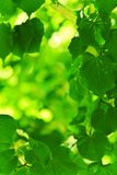 Background Of Green Fresh Foliage Royalty Free Stock Photo
