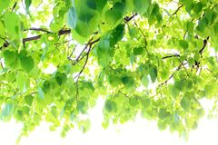 Free Background Of Green Linden Leaves, Out Of Focus. Stock Photos - 124395153