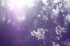 Free Background Of Spring White Cherry Blossoms Tree Royalty Free Stock Images - 87515029
