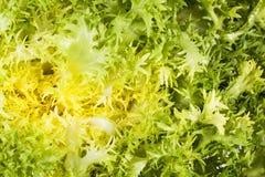 Background ol leaves of salad Cichorium endivia, close up. Stock Photo
