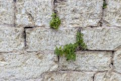 The background old beige stony wall with plants Stock Photography