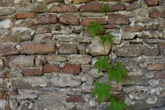Background of old stone wall and clambering plant. Useful for diverse purposes in commercial and non-commercial usage stock photo