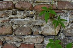 Background of old stone wall and clambering plant. Useful for diverse purposes in commercial and non-commercial usage stock images