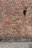 Background of old vintage brick wall covered with stalks of lian Royalty Free Stock Photo