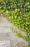 Background of old wall with ivy bushes Royalty Free Stock Photo