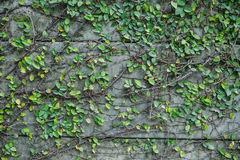 Background old wall and ivy leaves. The green ivy on a stone wall, a beautiful background Royalty Free Stock Images