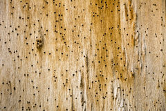 Background from old wooden board. Old wall bitten by pests. Royalty Free Stock Image