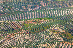 Background of Olive Trees plantation fields, aerial view Stock Images