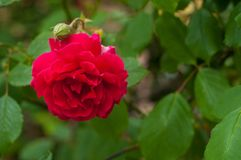 Bright red rose with buds on a background of a green bush. Beautiful red rose in the summer garden. Stock Images