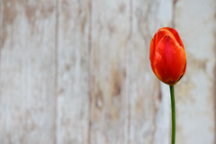 Background, one tulip. Stock Photos
