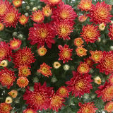 Background with orange autumn chrysanthe Stock Image