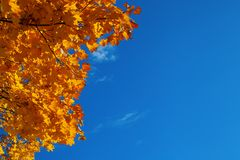 Background from orange autumn maple leaves and the blue sky. Background from orange autumn maple leaves and the blue transparent sky royalty free stock images