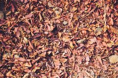 Background of orange fall leaves lying on the ground. royalty free stock photography