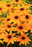 Background of orange flowers Royalty Free Stock Images