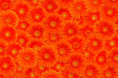 Background with orange gerberas Stock Photography