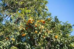 A background with orange tree. Its leaves and fruits, Barcelona, Spain Royalty Free Stock Photography