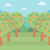 Background of orange trees. Royalty Free Stock Image
