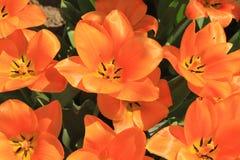Background of orange tulips Stock Photography