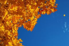 Background from orange and yellow autumn leaves and the blue bright sky with the falling leaflet. Background from orange and yellow autumn maple leaves and the stock photography