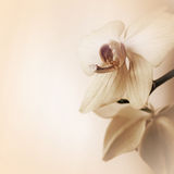 Background with orchid flowers. Beige background with orchid flowers Royalty Free Stock Photography