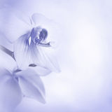 Background with orchid flowers. Blue background with orchid flowers Royalty Free Stock Photos