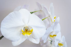 Background with orchid flowers. White  background with orchid flowers Stock Photography