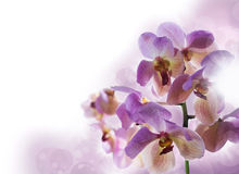Background with orchids Royalty Free Stock Image