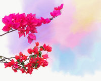 Background with ornamental climbing plant bougainvillea blossom Royalty Free Stock Photo