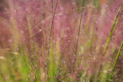 Background Ornamental Grass Spikes Stock Photos