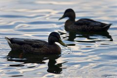 Background with a pair of mallards swimming Royalty Free Stock Photos