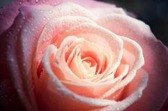 Background with pale pink rose Stock Images