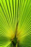 The background of palm leaf Stock Image