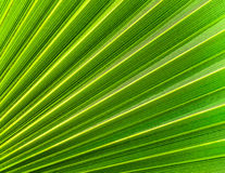 The background of palm leaf Royalty Free Stock Photography