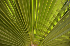 Background of palm leaf Royalty Free Stock Image