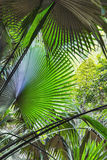 Background of palm leaves in the jungle of Thailand Stock Photo