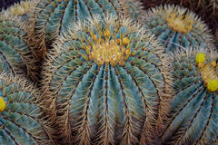 Background or pattern of cactuses in botanical garden royalty free stock photo