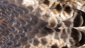 Background pattern of  feathers Stock Photography