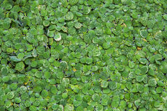 Background pattern green duckweed float in water Royalty Free Stock Photos
