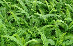 The Horizontal of Tassle Ferns Textured Background. Background Pattern, Horizontal of Pteridophyta or Tassle Ferns Textured or Green Bush Royalty Free Stock Photography