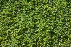 Natural green texture of bright lush ivy foliage. stock photography