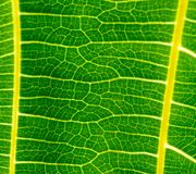 Background of pattern and venation of tropical leave. Beautiful  background of pattern and venation of green leave Royalty Free Stock Photography