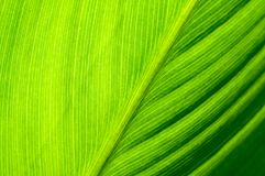 Background of pattern and venation of tropical leave. Beautiful  background of pattern and venation of green leave Royalty Free Stock Photos