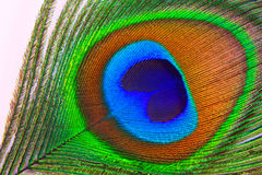 Background a peacock feather Stock Images