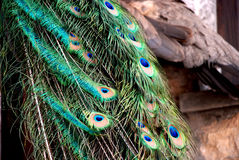 Background of peacock feathers.  Royalty Free Stock Photography