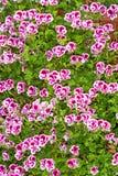 Background of Pelargonium Royalty Free Stock Image