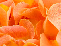 Background with petal of rose Royalty Free Stock Photo