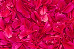 Background from petals. Bright pink peony petals background in the form of placer Stock Photography